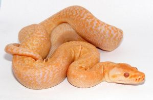 Albino Green Granite Burmese by Toxic-Muffins-Studio