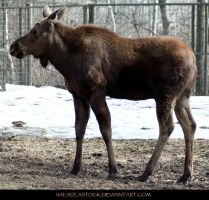 Moose 1 by SalsolaStock