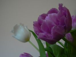 Puple and white tulipes by Azagh
