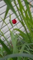 The Red Tulip by Biggerontheinside10