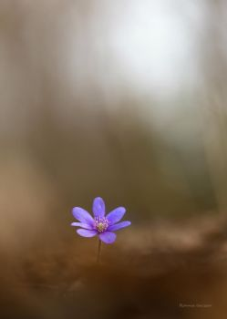 Hepatica and bokeh by roisabborrar