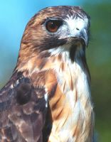 Red Tailed Hawk by jnevitt