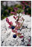 BlueBerry by PvP