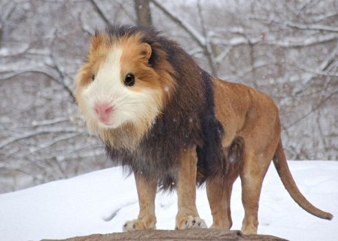 lion guinea pigs by Mia-Chiko