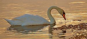 Swan On Golden Pond by QueanFaerieBear