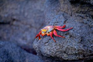 Red Crab by stockf8