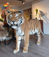 Big kitty! Tiger taxidermy for a customer! by Museumwinkel