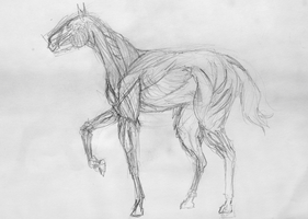 Horse Musculature by Poniker