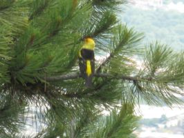 Western Tanager by Artistic-Vixen