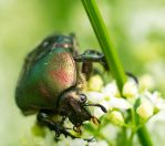 Beetle on the flowers by Tam3n
