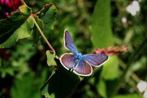 Blue Butterfly by Roseslover