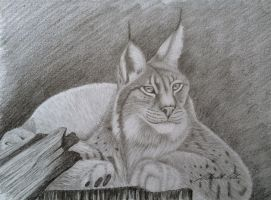 Lynx with pencil by Udvardi