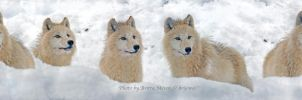 Arctic wolf 3 by brijome