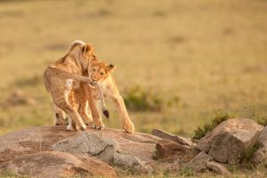 African Lion 60 by catman-suha