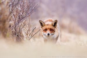 Red fox and Purple  Pastels by thrumyeye