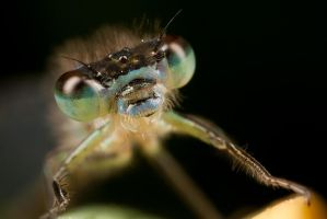 First Damselfly of 2009 by Alliec