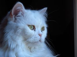 Green Eyed Persian Cat by Kitteh-Pawz