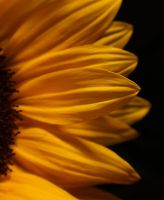 Sunflower... 3 by AgataSwat