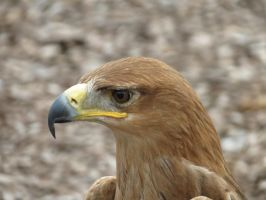 Tawny Eagle 6 by Cryostar1177