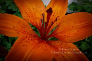 My orange flower by Miha3lla