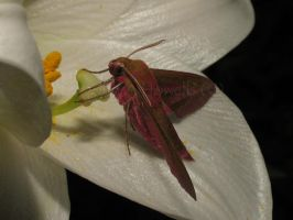 Elephant Hawkmoth on Lily by Amazonofexeter
