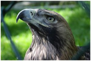 Eagle IV by DysfunctionalKid