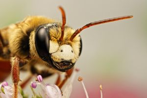 Solitary Bee on Mint VIII by dalantech