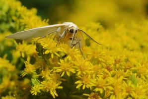 Dogbane Moth by barcon53