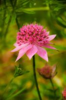 Wild Pink by taffmeister