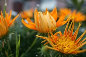 Orange Flowers by ducridah750
