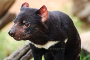 Tasmanian Devil by AdamsWife