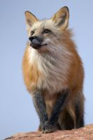 Red Fox Portrait by Gregro