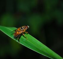 Syrphid Fly by deaths-discomfort