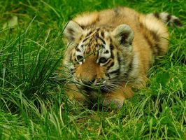 Crouching Tiger.. by quaddie