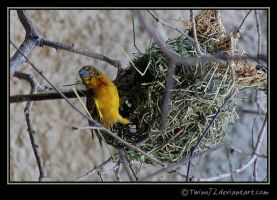 ploceus cucullatus by Twins72