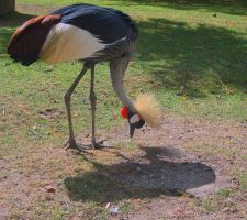 Black Crowned Crane 2 by PhoenixII54