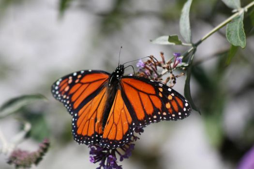 Monarch Butterfly by FancyTomKat