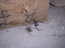 Red Back Spider by Dark-Anmut