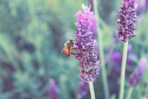 bee in lavender. by lisz