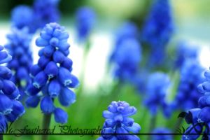 Blue Bell by FeatheredPhoto