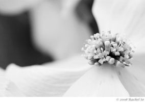 White Dogwood Delight by butterfly36rs
