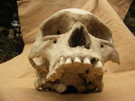Human skull 22 jpeg by Pronus