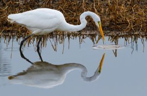 Fishing Egret by bovey-photo