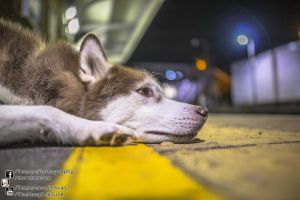 Patience - Husky Westgate On Sea 2013.09.07 by TomasMascinskas
