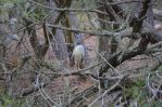 Black Crowned Night Heron of Assateague NWR by Ahopper1996
