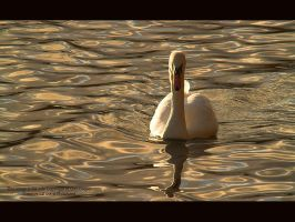 Swan at Dusk by GMCPhotographics