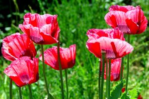 Peppy Poppies by PhoenixLumbre