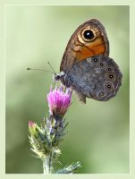 Wall butterfly by Jamie-MacArthur