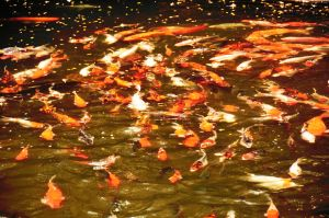 Flow of carps. by helios1027