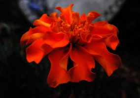 Red flower by Angelos-Griever